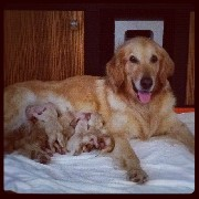 Vendo filhotes de golden retrieve
